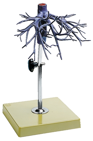 SOMSO Model of the Hepatic Veins - J8-4
