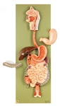 SOMSO Digestive Tract, half stomach can be opened - JS2-2