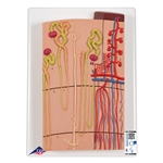 Nephrons and Blood Vessels, 120 times full-size - K10-1
