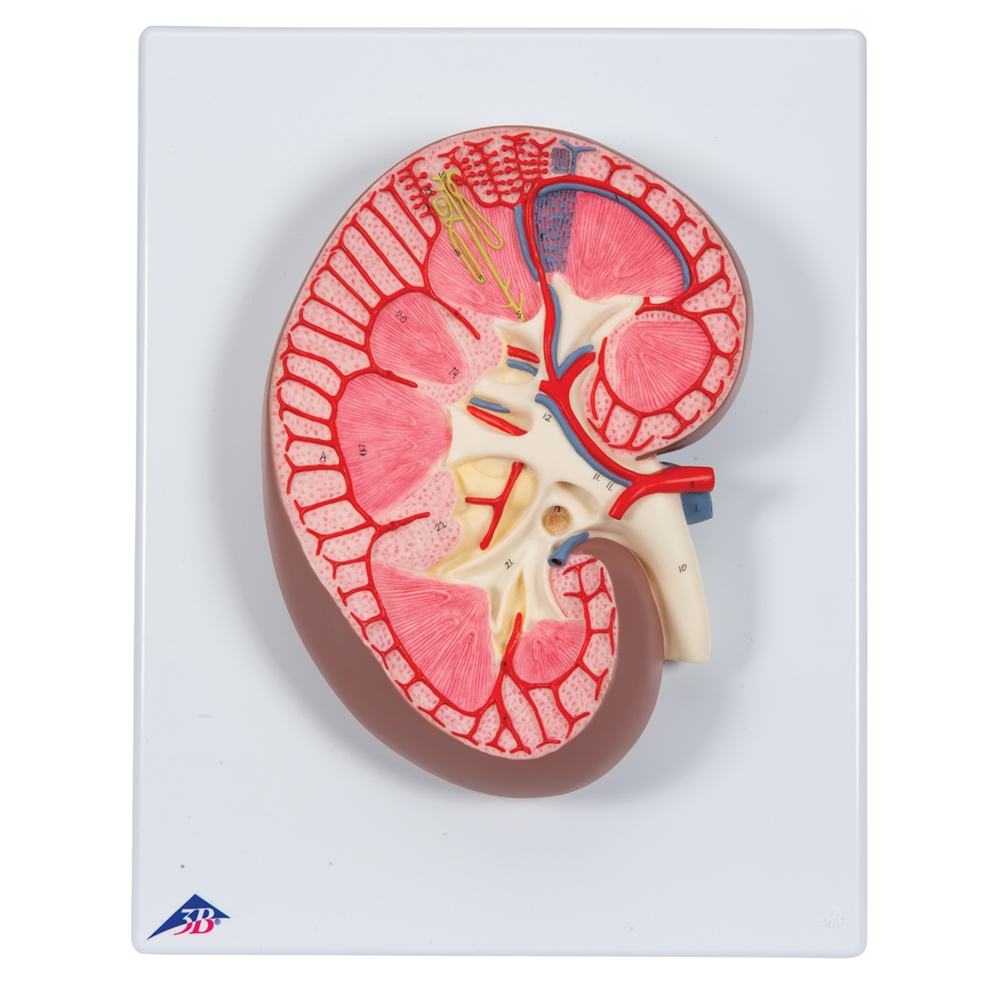 Human Kidney Section Model 3x Full Size