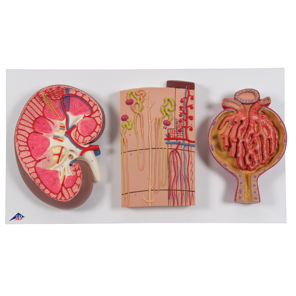 Kidney Section Blood Vessels And Renal Corpuscle