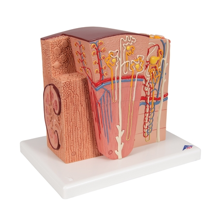3B MICROanatomy Kidney Model | MICROanatomy Kidney Model