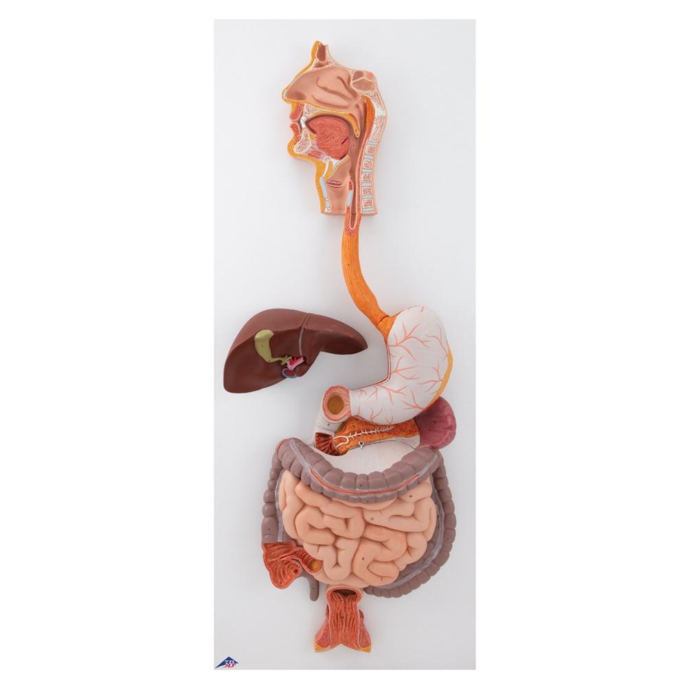 Human Digestive System, 3-part