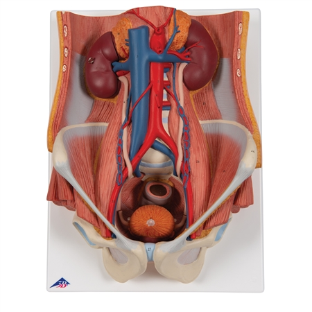 Dual Gender Urinary System, 6-part - K32