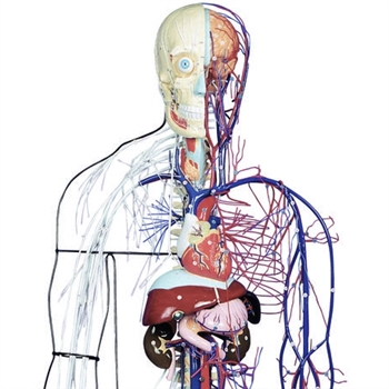 Full-Figure Nervous and Circulatory System - KK-A100