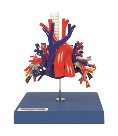 Kyoto Kagaku Bronchus, Pulmonary Artery and Veins Model