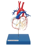 #ModelofCoronaryArtery | Model of Coronary Artery | Conducting System of the Heart Model | Coronary Artery and Conducting System of the Heart | Kyoto Kagaku Coronary Artery and Conducting System of the Heart | Heart Conducting System Model