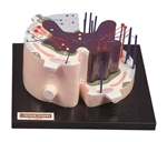 Kyoto Kagaku Tract and Reflection of Spinal Nerve Model - KK-A32