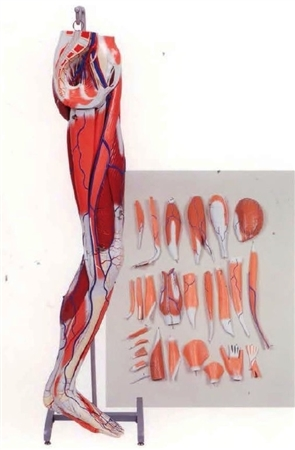 Dissectible Leg Musculature Model (A3D) - KK-A3A