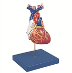 Kyoto Kagaku Heart Dissection Model
