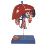 Kyoto Kagaku Liver, Spleen and Kidney Model