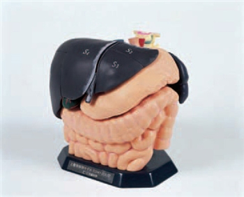 'ECHO-ZOU' Internal Organ Anatomical Model - KKUS-1-11224-000