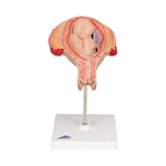 5th Month Fetus - Breech Position Pregnancy Model L10-5