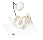 Childbirth Demonstration Pelvis | 3B Scientific Childbirth Demonstration Pelvis Model L30