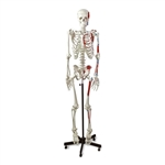 Muscular Skeleton Model | Human Muscular Skeleton Model | Human Muscular Skeleton Model LA00100U | Global Technologies is an authorized dealer of Health education and anatomy models, supplying the Human Muscular Skeleton Model LA00100U