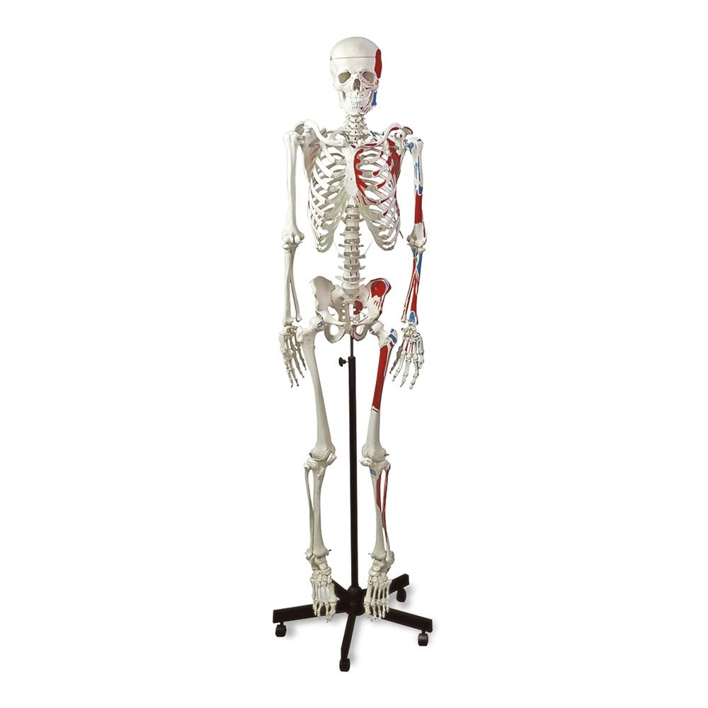Human Muscular Skeleton Model