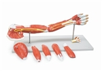 Muscles of the Human Arm Model | Arm Muscle Model LA00129U-G | Altay Muscles of the Human Arm Model 6000.31 | Buy Altay Muscles of the Human Arm Model | Altay Muscles of the Human Arm On Sale | Buy Arm Muscles Model On Sale | Model of the arm with muscles