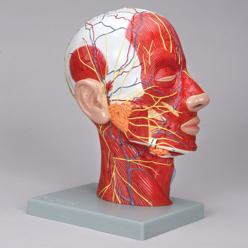 Head Model With Muscles Blood Vessels And Nerve Branches