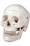Human Skull Model (3-Part) - Unnumbered LA00164U | Altay Skull 82 V 3307 | 6041.50