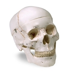 Human Skull Model (3-Part) - Numbered LA00176U