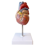 Life-size Human Heart Model - 2 Part - LA00200U