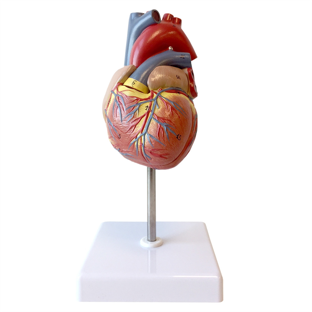 Life-size Human Heart Model - 2 Part