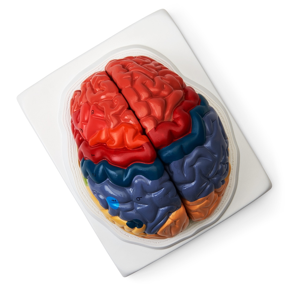 Regional Brain Model (2-Part), Life-size