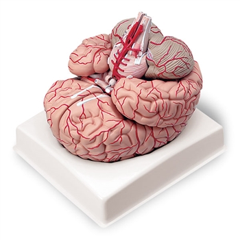 Brain with Arteries Model (9-Part)