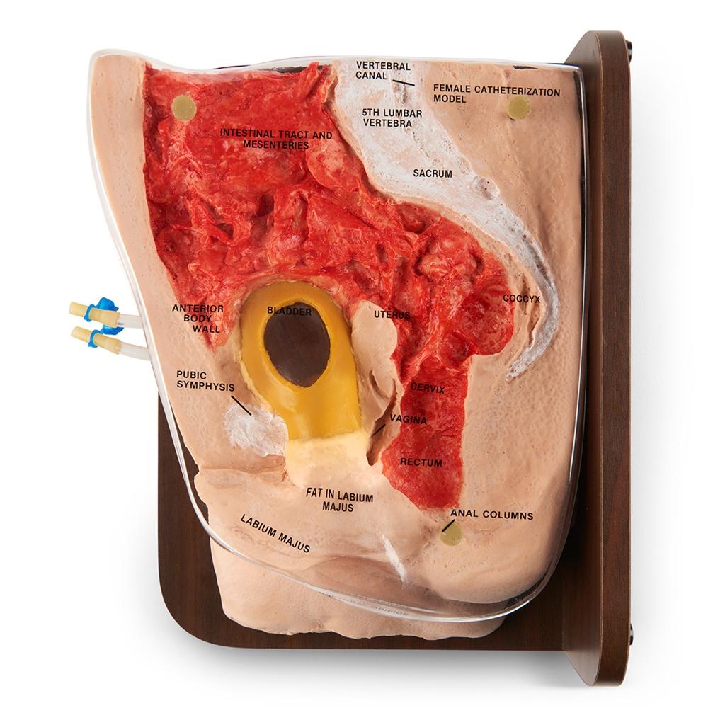 Unique Female Catheterization Anatomy Motif - Physiology Of Human ...