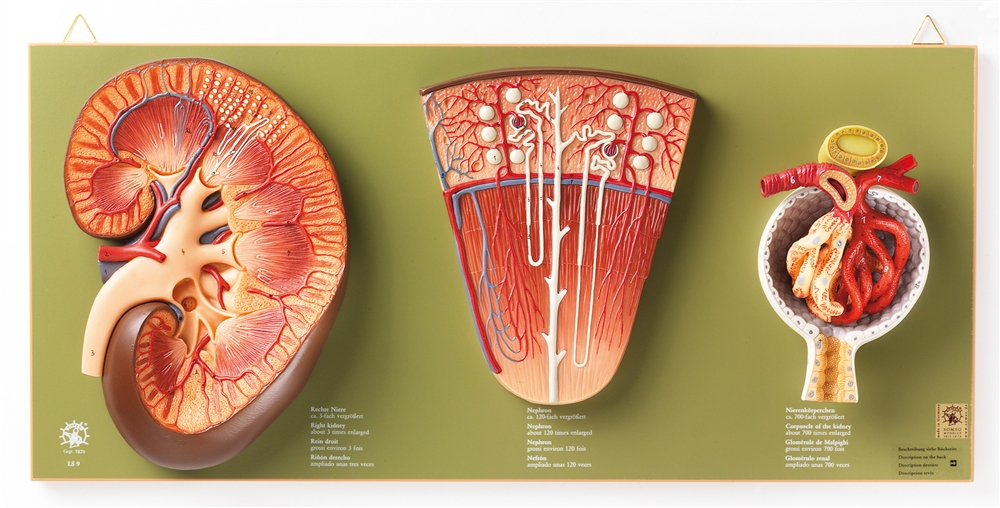 Somso Kidney Nephron And Glomerulus Model Set Ls 9