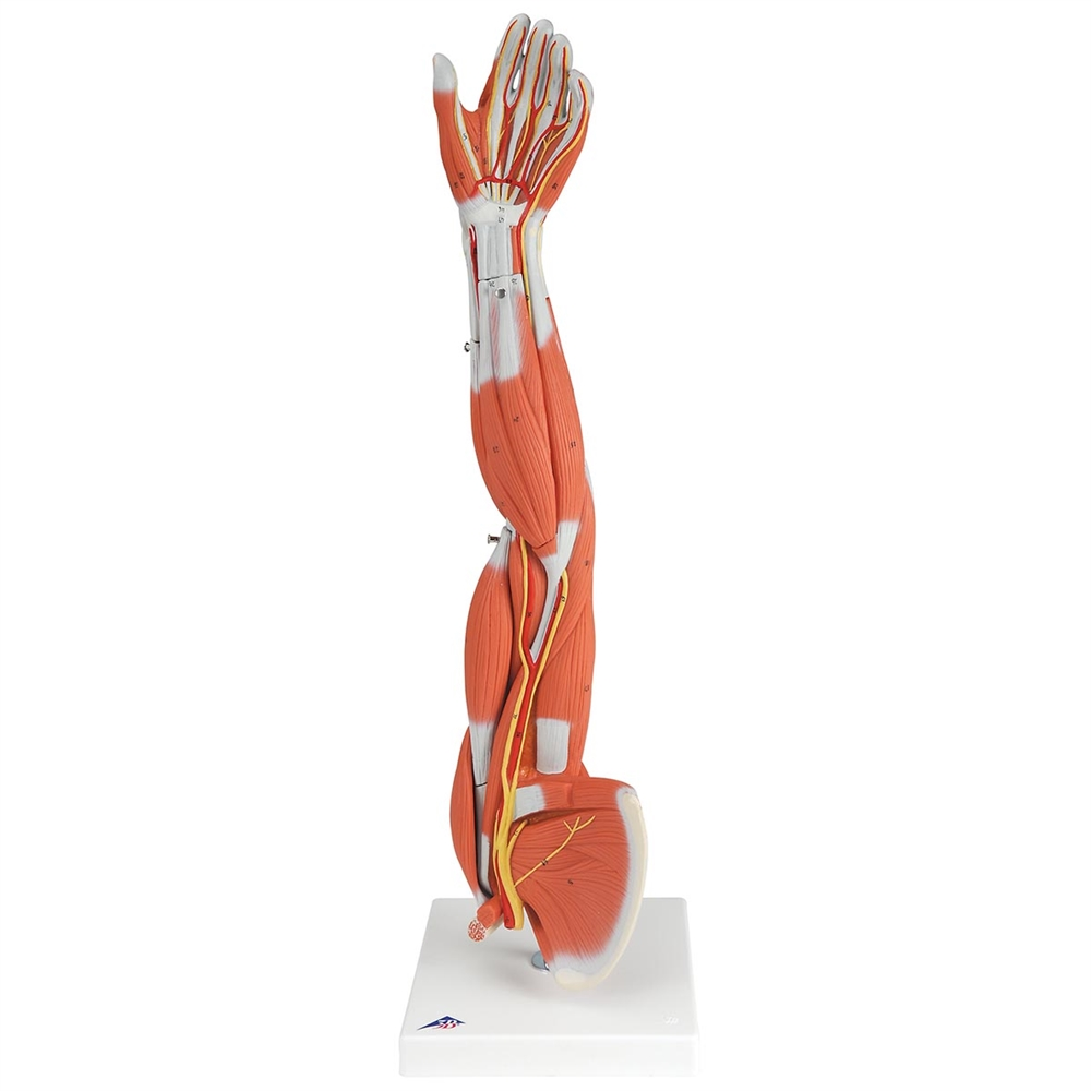 Muscle Arm Model 6 Part 34 Life Size