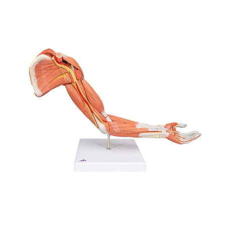 Arm Muscle model | Muscle Arm Model | Deluxe Muscle Arm Model | 3B Scientific M11 Deluxe Muscle Arm Model | Buy 3B Scientific M11 Deluxe Muscle Arm Model | 3B Scientific M11 Deluxe Muscle Arm Model On sale | Buy Deluxe Muscle Arm Model On sale