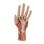 Hand Model | Hand  Internal Structure Model |  Model of the Hand  Internal Structure | Internal Hand Structure Model | 3B Scientific M18 Internal Hand Structure Model, 3 part