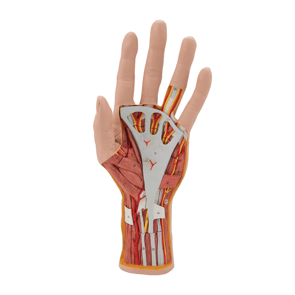 Internal Structure Of The Hand Model 3 Part