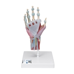 Hand Skeleton Model with Muscles | Hand Skeleton Model with Ligaments | Hand Skeleton Model with Ligaments and Muscles | 3B Scientific M33-1 Hand Skeleton Model with Ligaments and Muscles