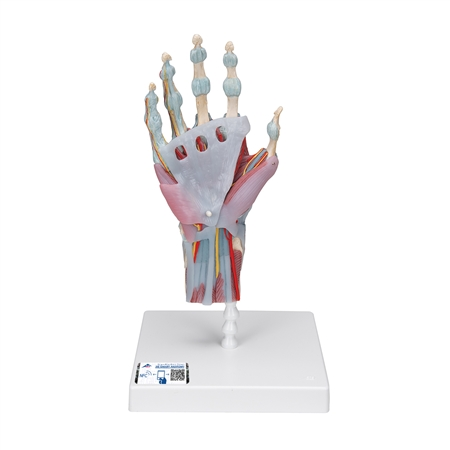 Hand Skeleton Model with Muscles and Ligaments