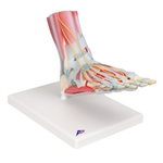 Foot Skeleton Model | Foot Skeleton Model with Muscles | Foot Skeleton Model with Ligaments | Foot Skeleton Model with Ligaments and Muscles | 3B Scientific Foot Skeleton Model with Ligaments and Muscles M34-1