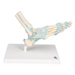 Foot Skeleton Model | Foot Skeleton Model with Ligaments | 3B Scientific Foot Skeleton Model with Ligaments M34