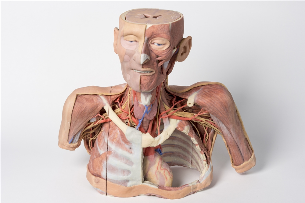 3d Printed Head Neck Shoulder And Thorax Replica With Angiosomes