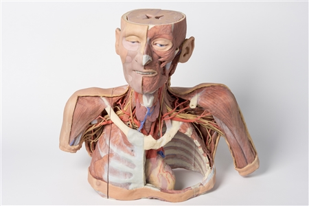 3D Printed Head, Neck, Shoulder and Thorax Replica with Angiosomes - MP1250