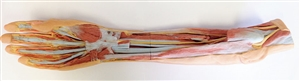 3D Printed Forearm and Hand - Superficial and Deep Dissection
