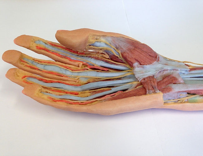 3D Printed Forearm and Hand Replica - Superficial and Deep Dissection