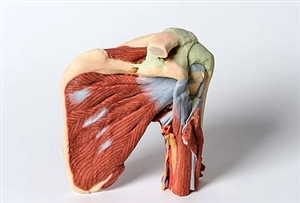 3D Printed Shoulder model deep dissection of the left shoulder joint, musculature, and associated nerves and vessels | 3D Printed Shoulder replica deep dissection of the left shoulder joint, musculature, and associated nerves and vessels