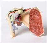 3D Printed Shoulder with deep dissection of a right shoulder - MP1527