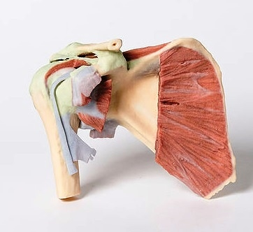3d Printed Shoulder Model Deep Dissection Of A Right Shoulder Girdle