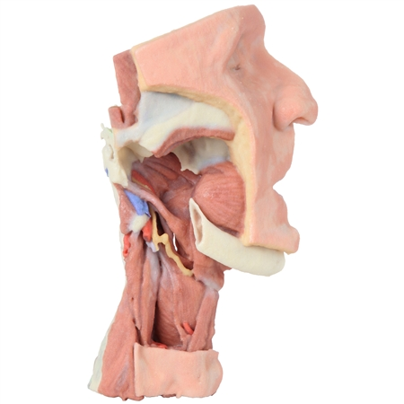 3D Printed Deep face- Infratemporal fossa Model | 3D Printed Deep face- Infratemporal fossa Replica