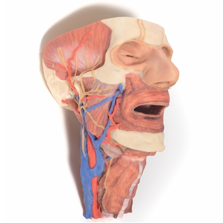 3D Printed Head and visceral column of the neck | 3D Printed Model of the Head and visceral column of the neck