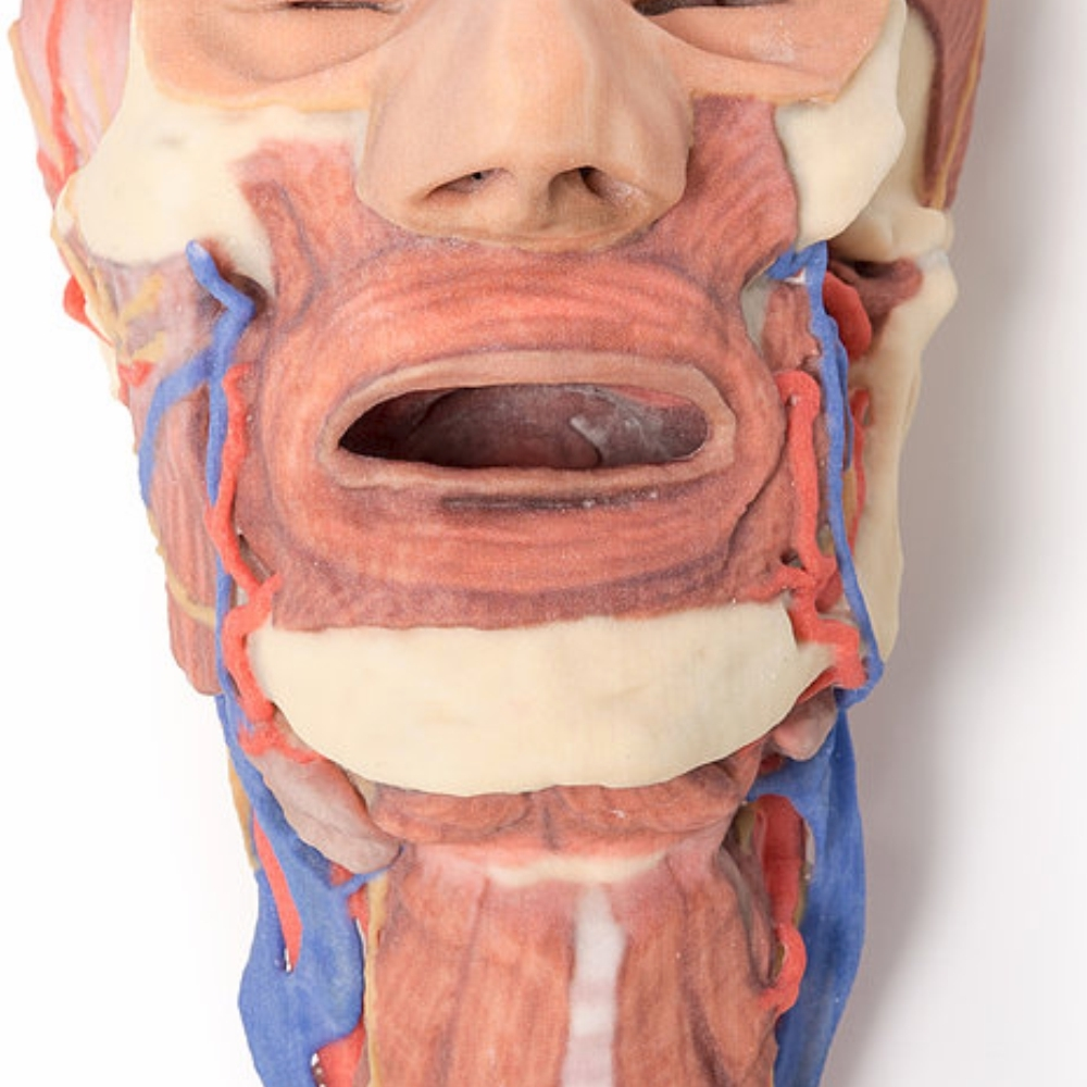 3D Printed Head and visceral column of the neck | 3D Printed Model ...
