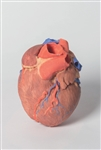 3D Printed Human Heart Model - MP1700