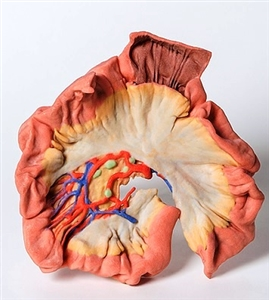3D Printed Bowel - Portion of Jejenum Model - MP1730